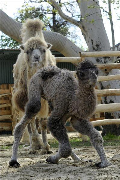 camel-budapest-2