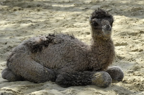 Budapest Zoo: Rare Baby Camel Makes His Debut