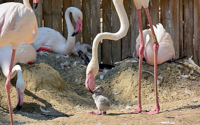 Sweet Baby Flamingos Were Born In The Budapest Zoo