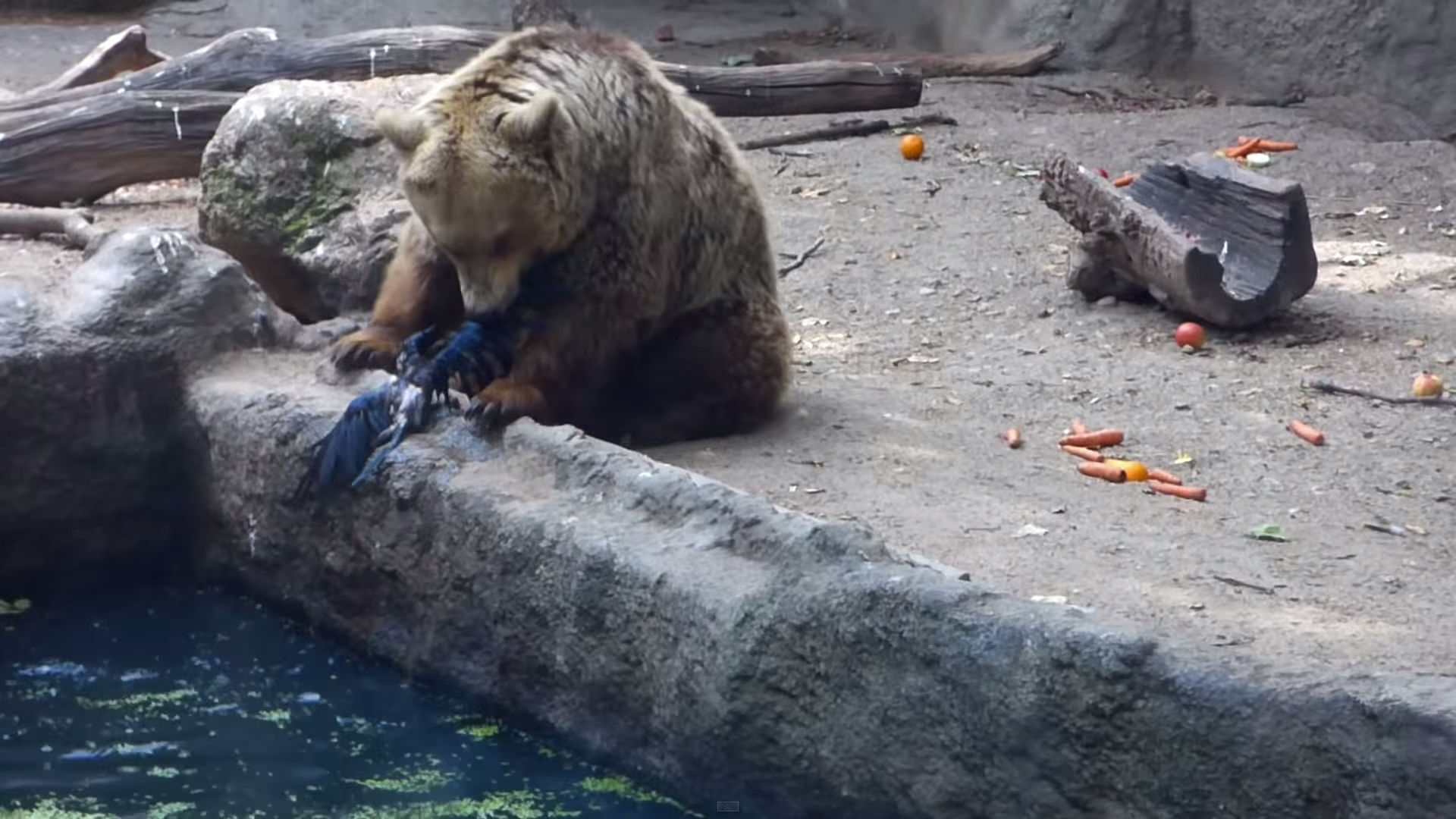 Budapest Zoo: Life-Saver Bear Became the Star of the Internet – VIDEO
