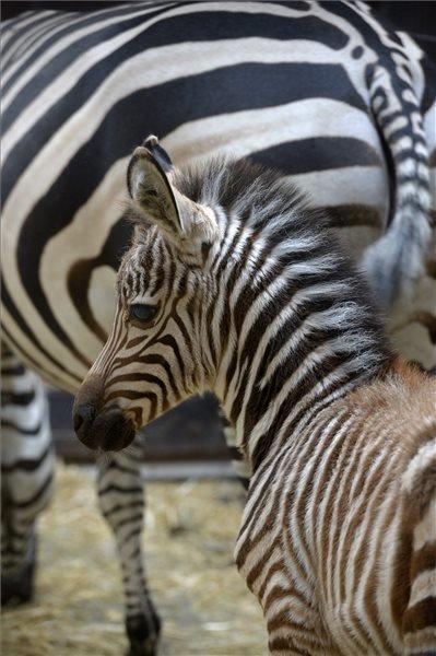 Baby zebra in Budapest Zoo