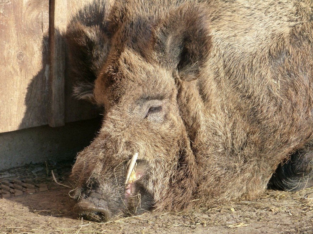 boar-92536_1280