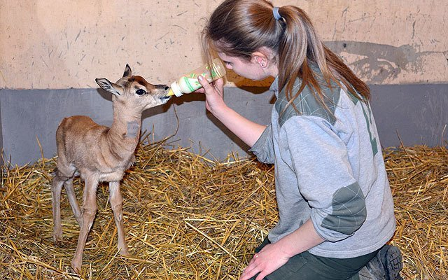 Budapest Zoo: The rare gazelle drinks from bottle