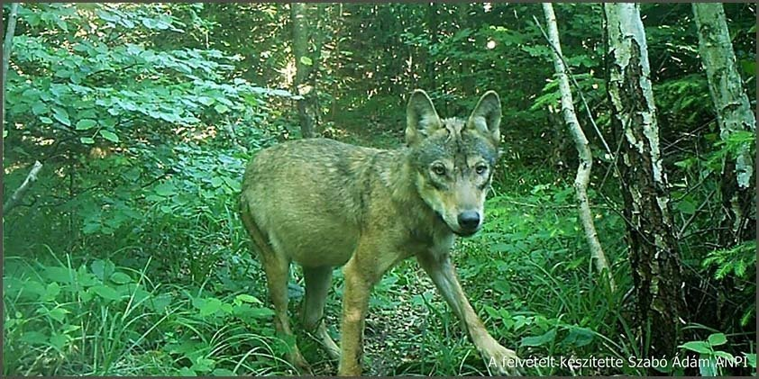 Wolf girl captured in a camera trip in Hungary – Video