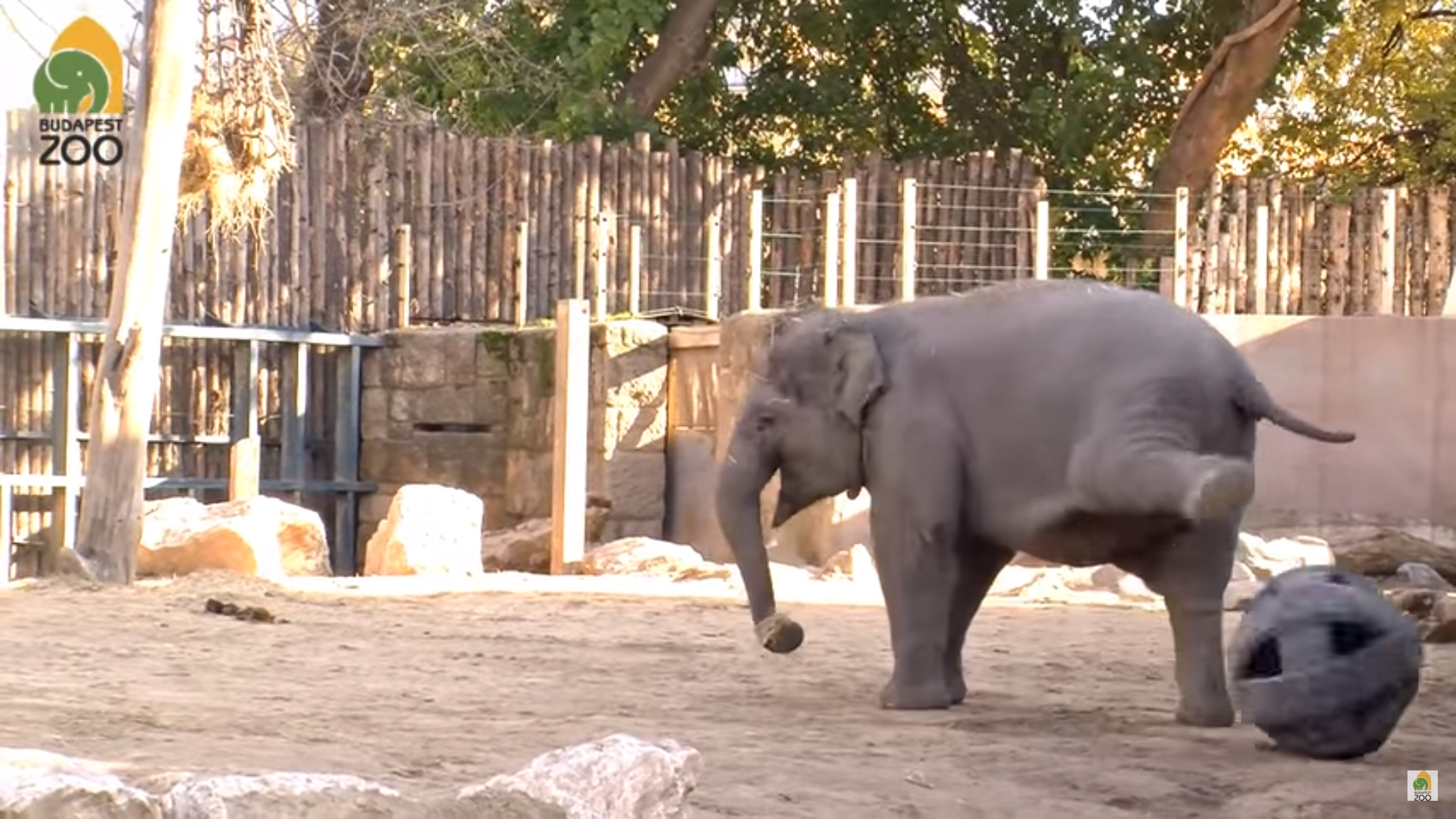 Sporty elephant in Hungary: Asha, who plays football – VIDEO