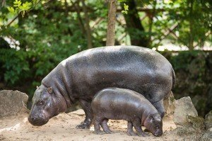 sóstó miniature hippo