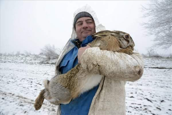 The capture of more than seven hundred wild rabbits began