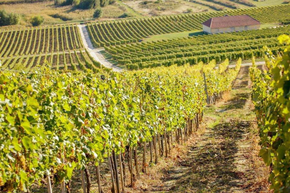 tokaj vineyard
