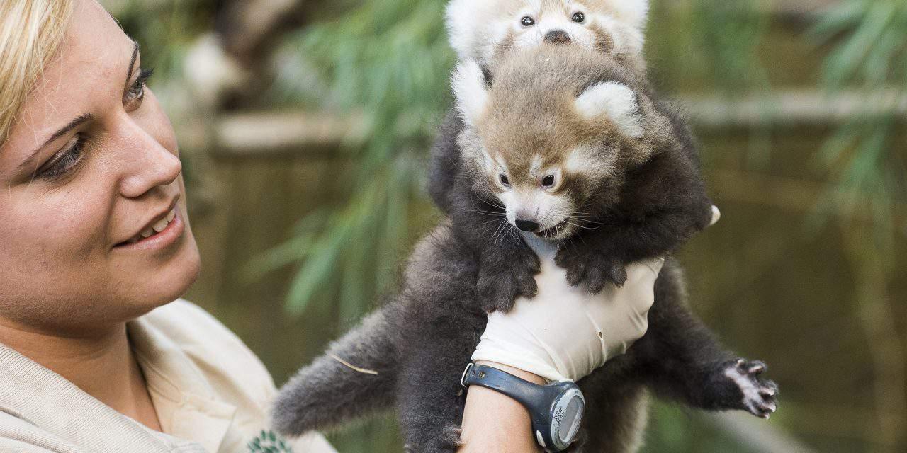Red panda twins born in Nyíregyháza