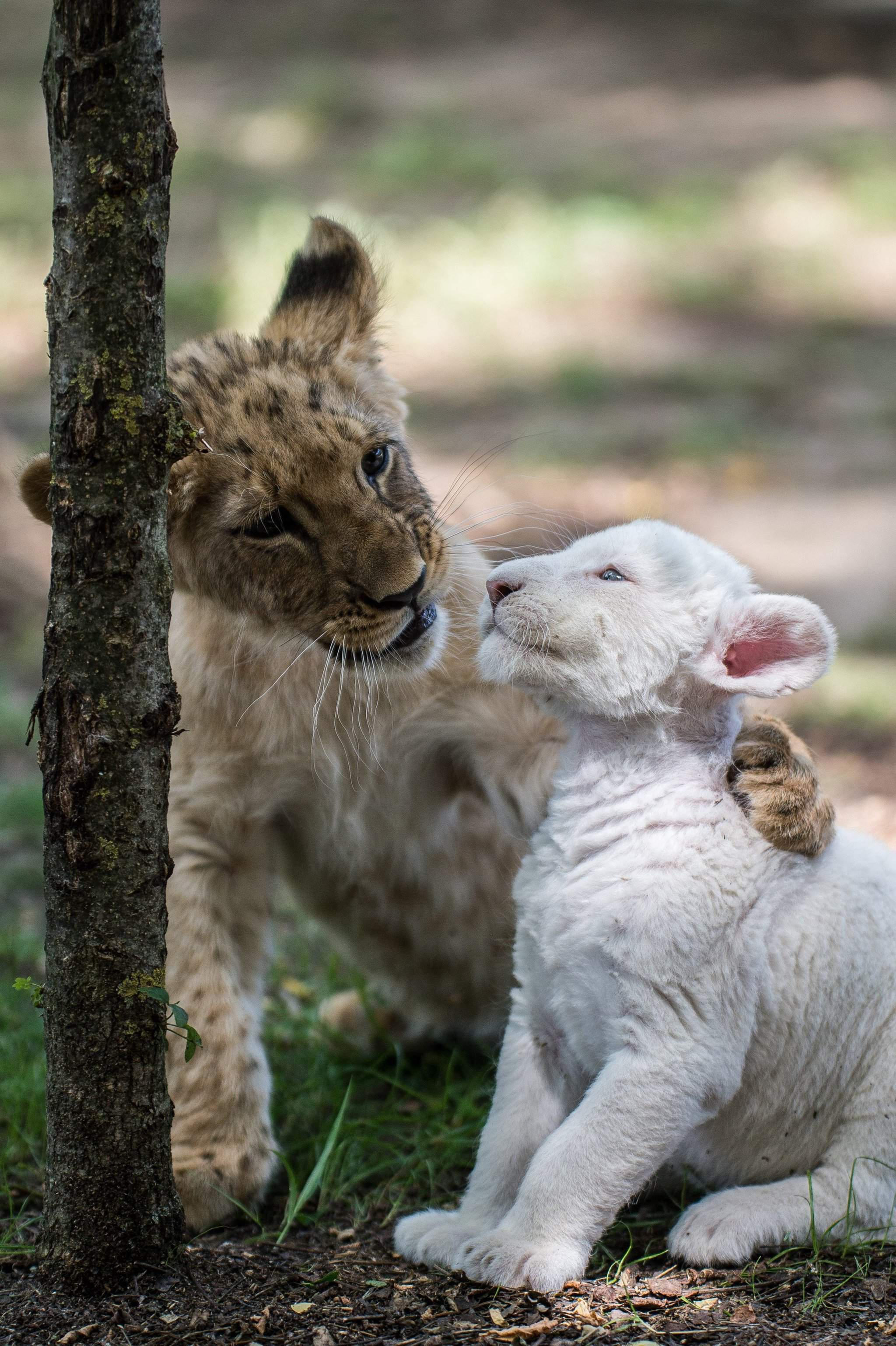 Photos – A white and a brown lion cub growing up together in Hungary