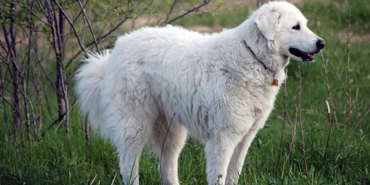 World Meeting of Kuvasz Breeders: The Hungarian Kuvasz in growing ...