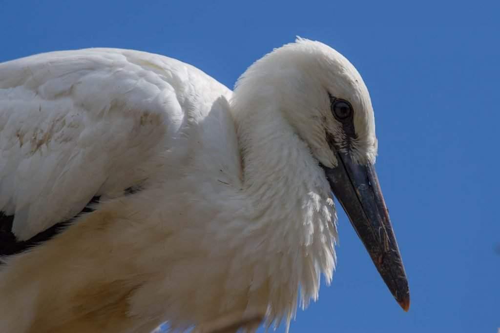 white stork gólya