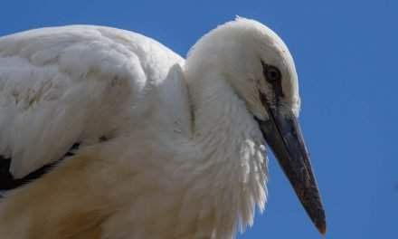 The first Hungarian stork has arrived home, others on their way