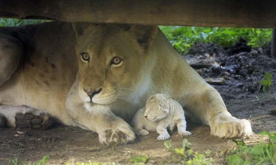 A white lion cub was born in Nyíregyháza – VIDEO