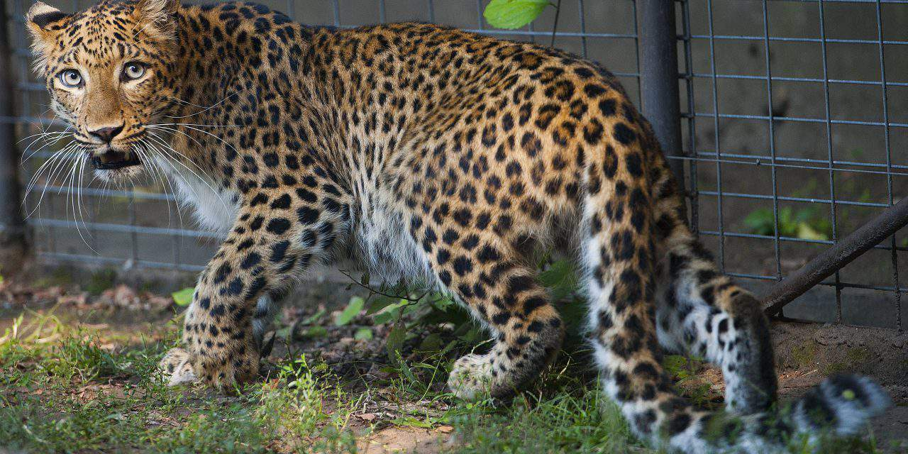North-Chinese leopard arrives at Debrecen Zoo