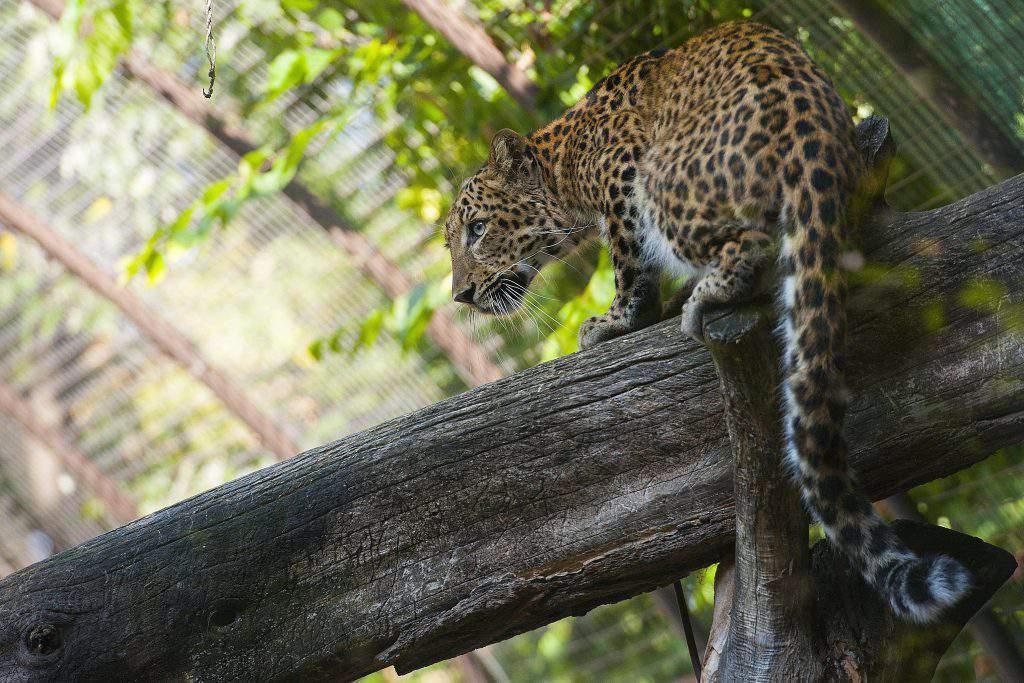 Észak-kínai leopárd a debreceni állatkertben