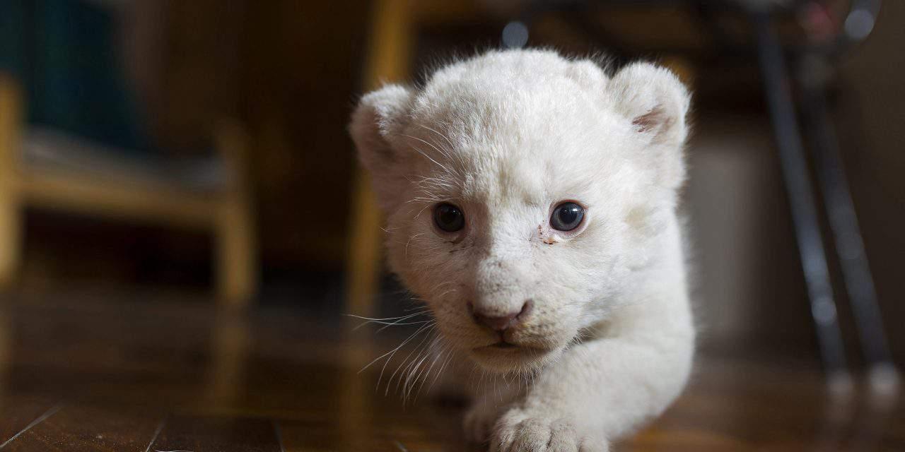 New-born white lion cub in the Nyíregyháza Zoo – PHOTOS