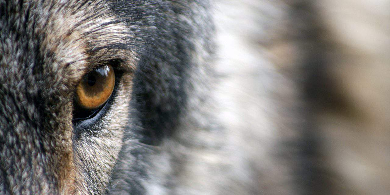 Hiding wolves filmed with the camera trap – VIDEOS