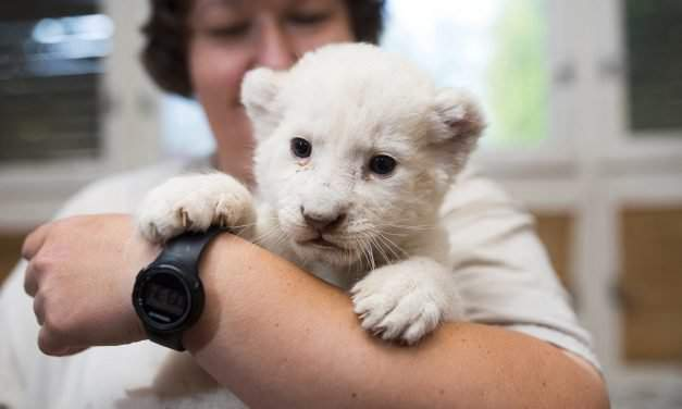 The tiny white lion cub was born in Nyíregyháza in August – Pictures
