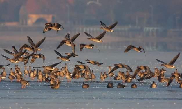 Winter-greeting bird festival: thousands of wild geese above Tata