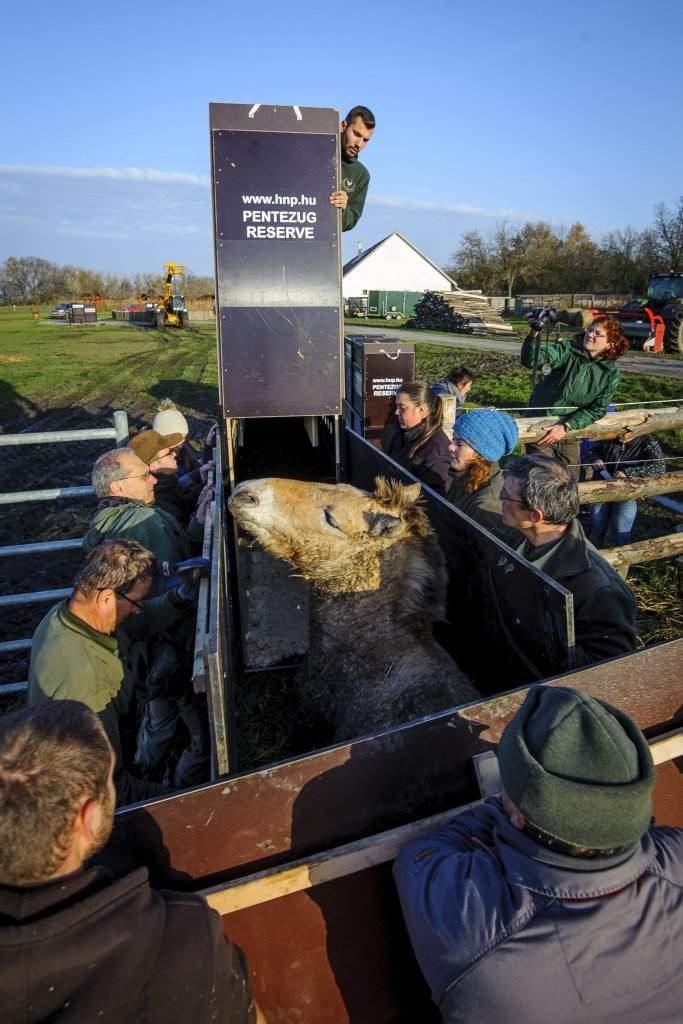 Hortobágy község, 2016. november 19. Egy ázsiai vadlovat (Przewalski-ló, Equus ferus przewalskii) terelnek be szállítódobozába a Hortobágyi Nemzeti Park (HNP) munkatársai, mielõtt elszállítanák egy oroszországi vadlórezervátumba 2016. november 19-én. A mintegy 3 ezer hektár kiterjedésû orenburgi rezervátumba tizenöt, Hortobágyon nevelkedett vadlovat telepítenek be az Európai Przewalski ló Tenyésztési Program (EEPP) keretében. MTI Fotó: Czeglédi Zsolt