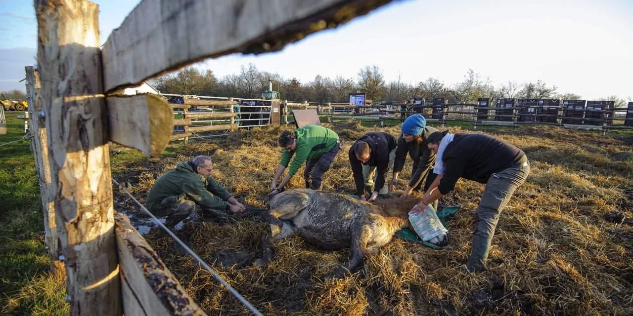 Asian wild horses taken from Hortobágy to Russia – Photos