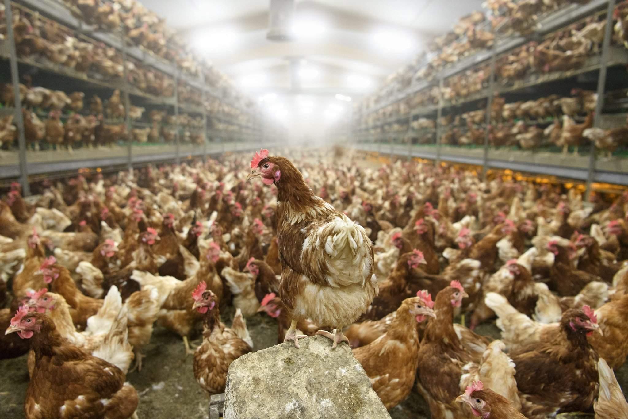 chicken-bird flu-Switzerland