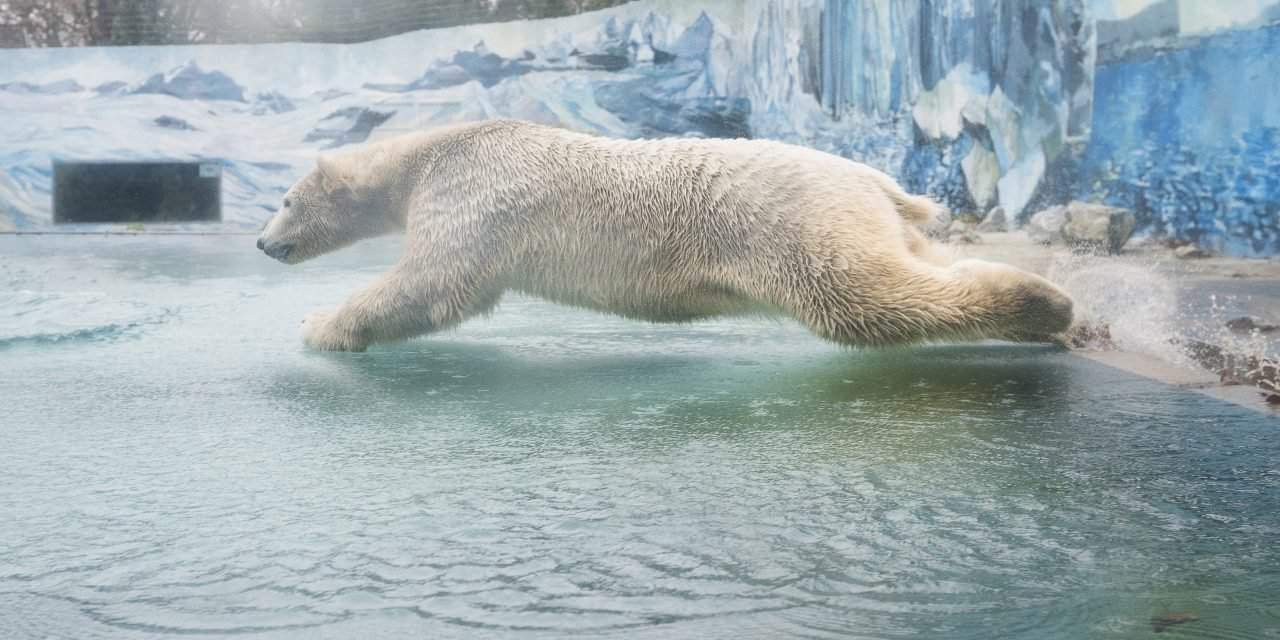 A polar bear arrived to the Zoo in Nyíregyháza