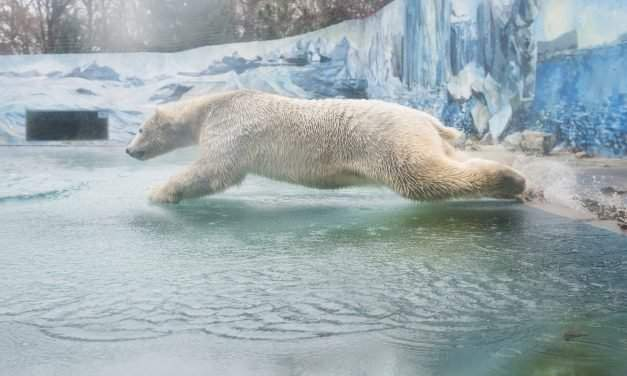 A polar bear arrived to the Zoo in Nyíregyháza