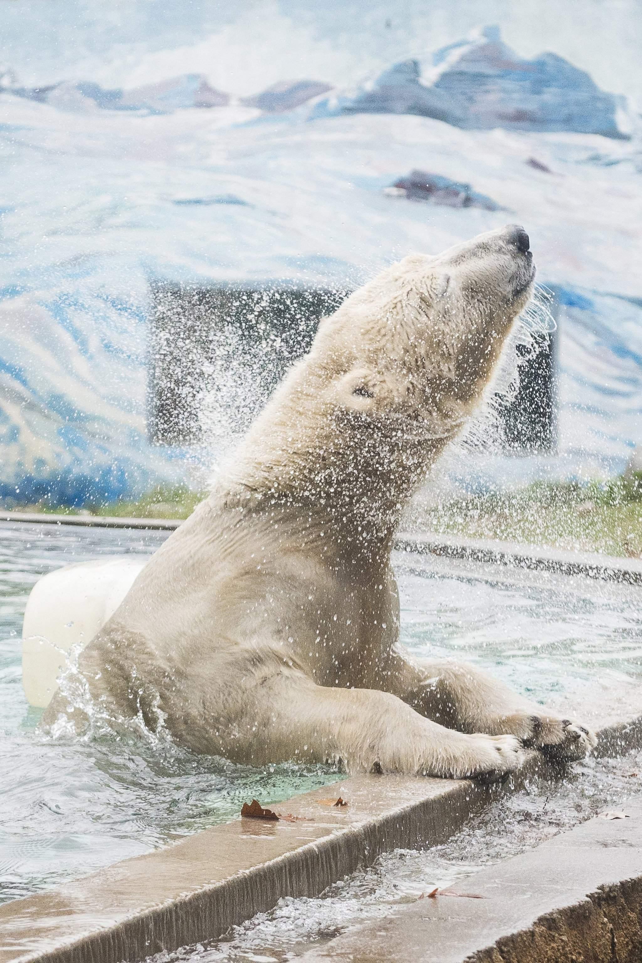 Jegesmedve érkezett a Nyíregyházi Állatparkba