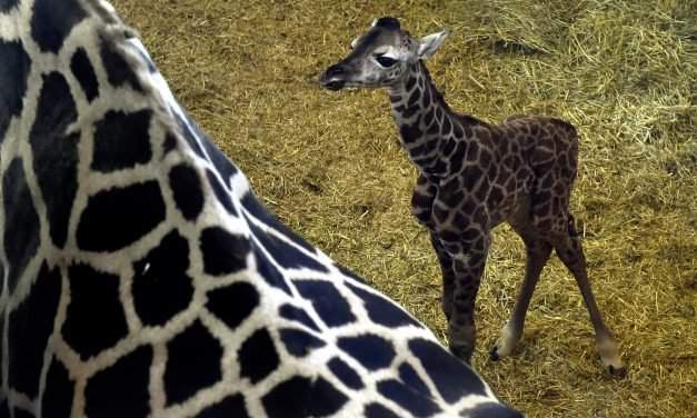 The first animal baby of 2017: Giraffe calf born in the Budapest Zoo – PHOTO GALLERY