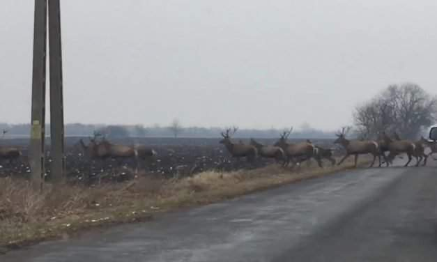 Hundreds of deer crossed the road in South Hungary – VIDEOS