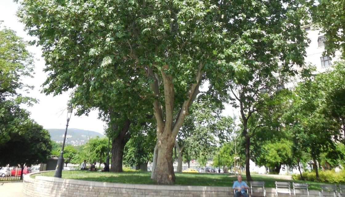 Hungarian plane tree in competition for European Tree of the Year title