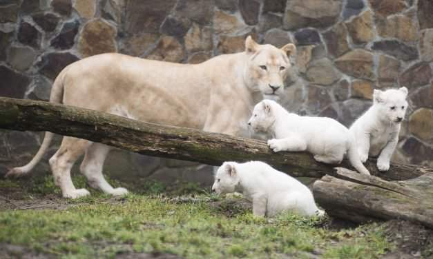 Introducing two-months-old white lion cubs in Nyíregyháza Zoo – Photo Gallery
