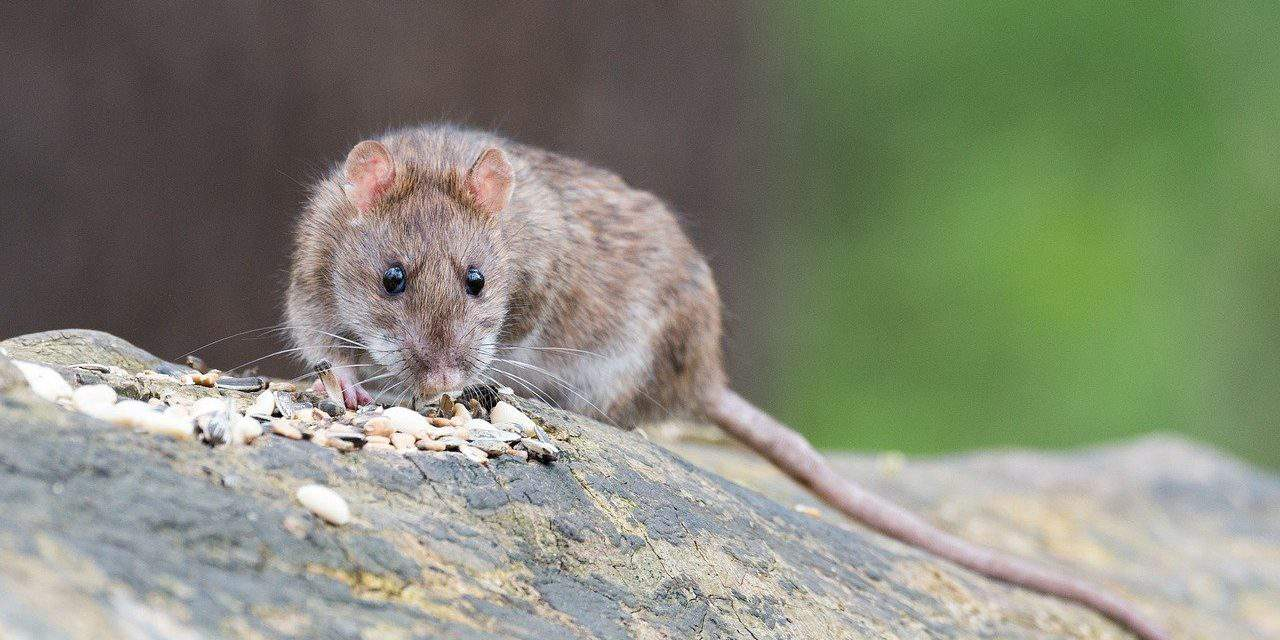Budapest puts up a fight against rats