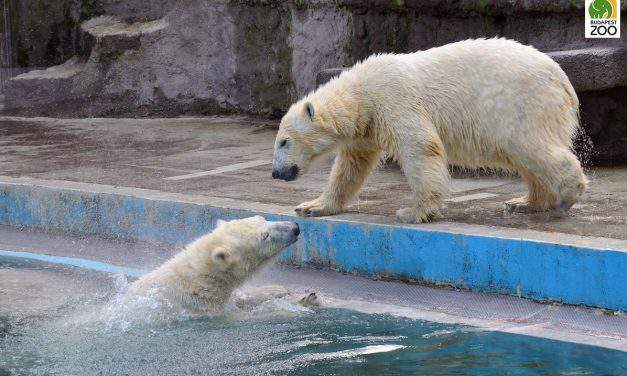 Athletic polar bears in Budapest – VIDEO