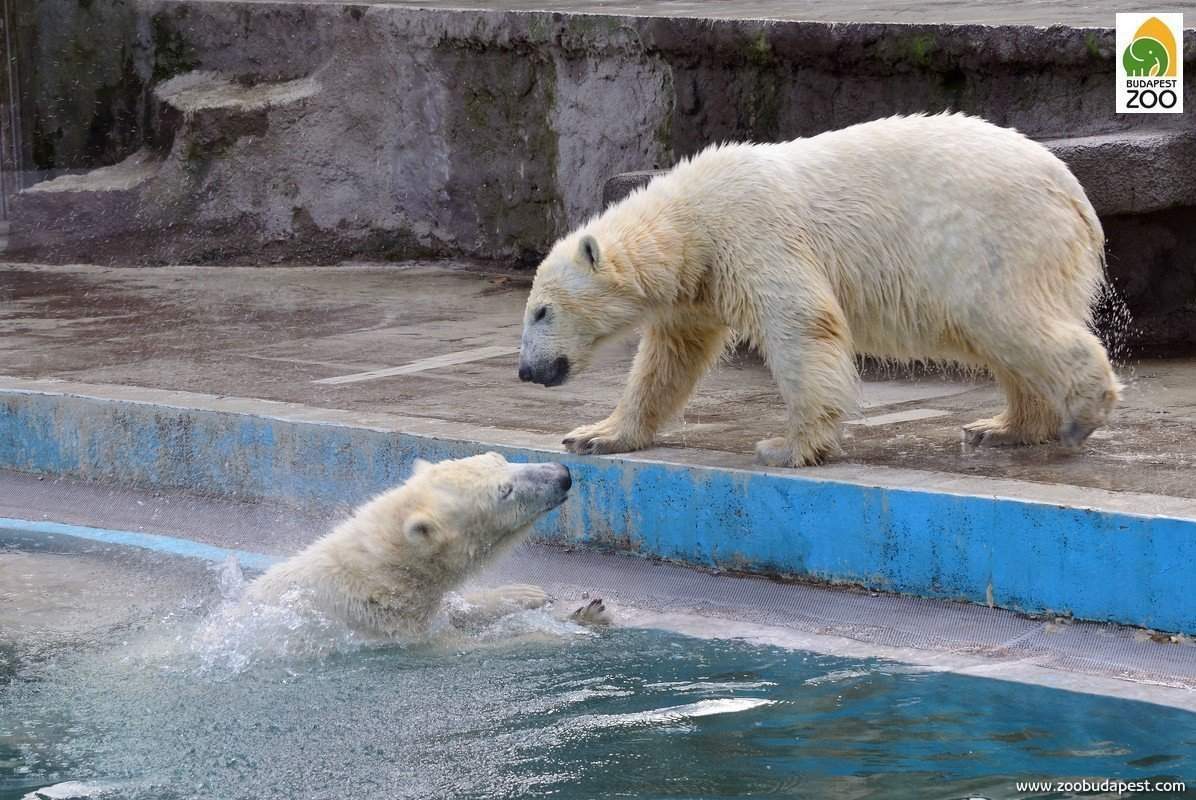 Athletic polar bears i...
