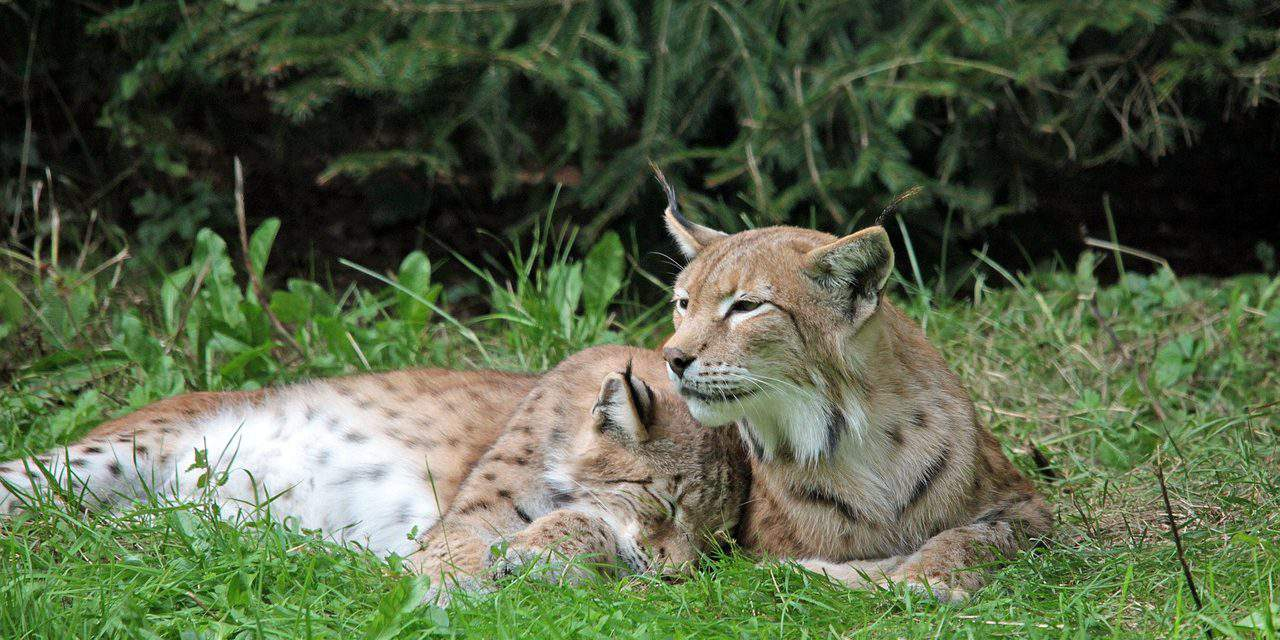 Lynxes return to Hungary – VIDEO
