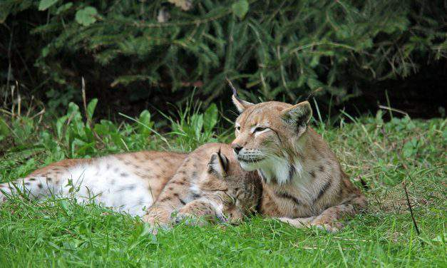 Lynxes return to Hungary – VIDEO