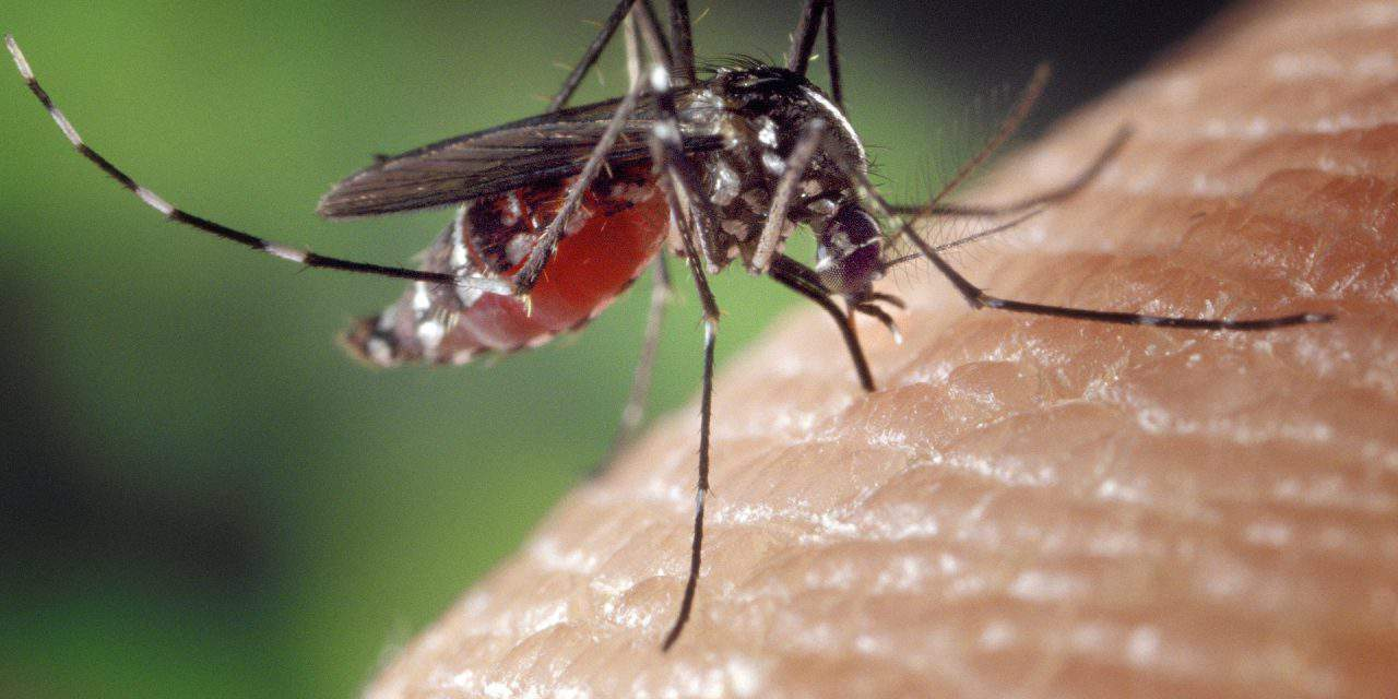 Zika Virus spreading mosquitoes around Pécs?