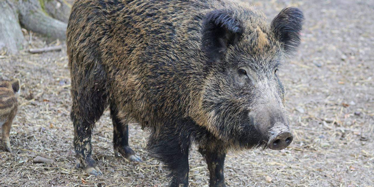 Hungary's hog stocks threatened by African swine fever