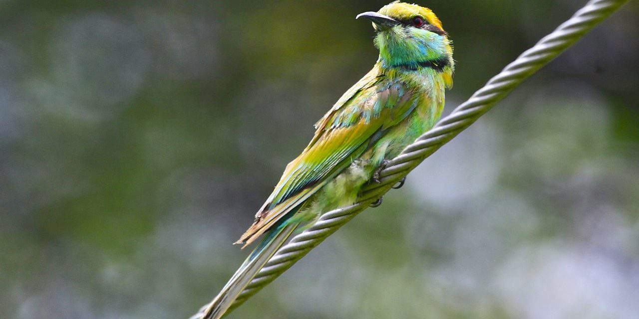 Protected bee eaters being eliminated in Dunakeszi by a filming crew