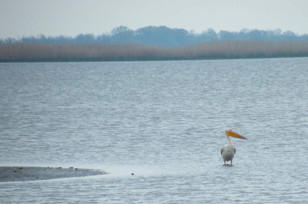 rózsás gödény great white pelican hortobágy