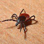 Hungarian invention helps getting rid of ticks