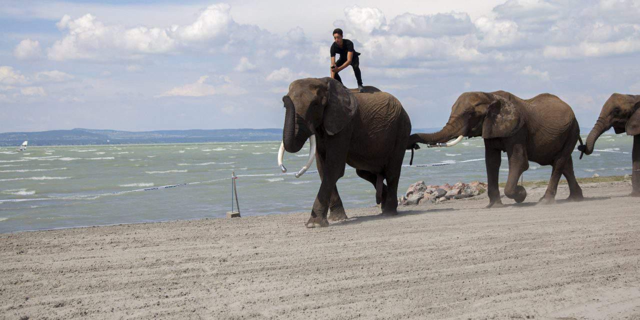 Elephants dabbled on the shore of Lake Balaton