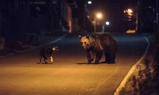 People want to put down bears in Szeklerland