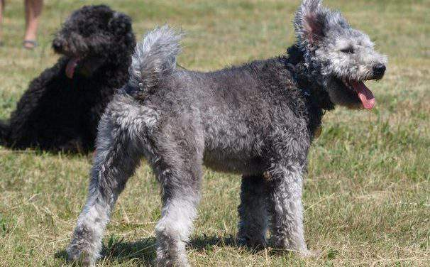 A Hungarian pumi chosen as the most clever and beautiful one of the species
