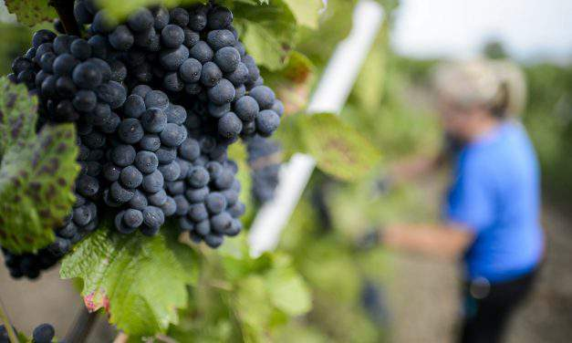 This year's vintage expected to be outstanding in Hungary