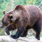 Sensation: Bears return to Hungary