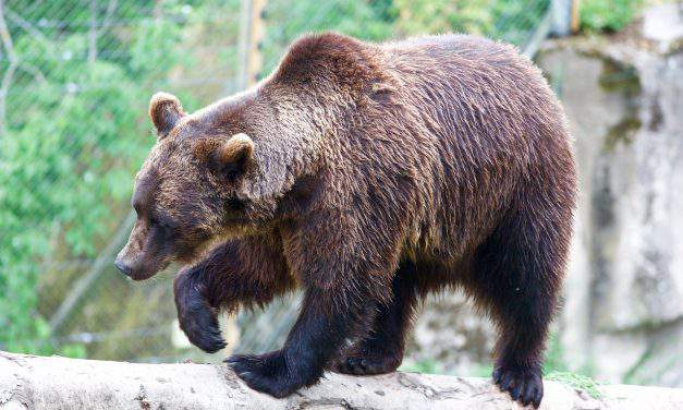Vackor the bear went to school in a Hungarian town